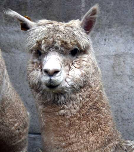 alpaca2web.jpg