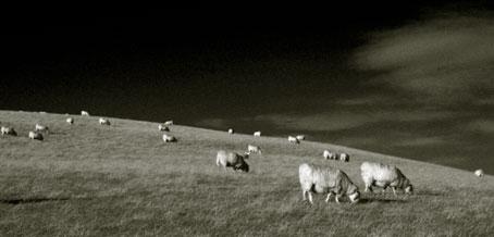 sheepb.jpg