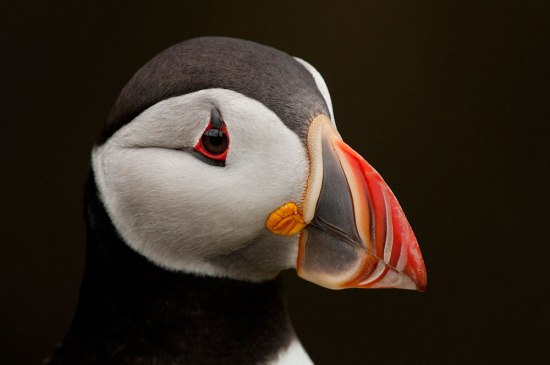 Puffin-Portrait