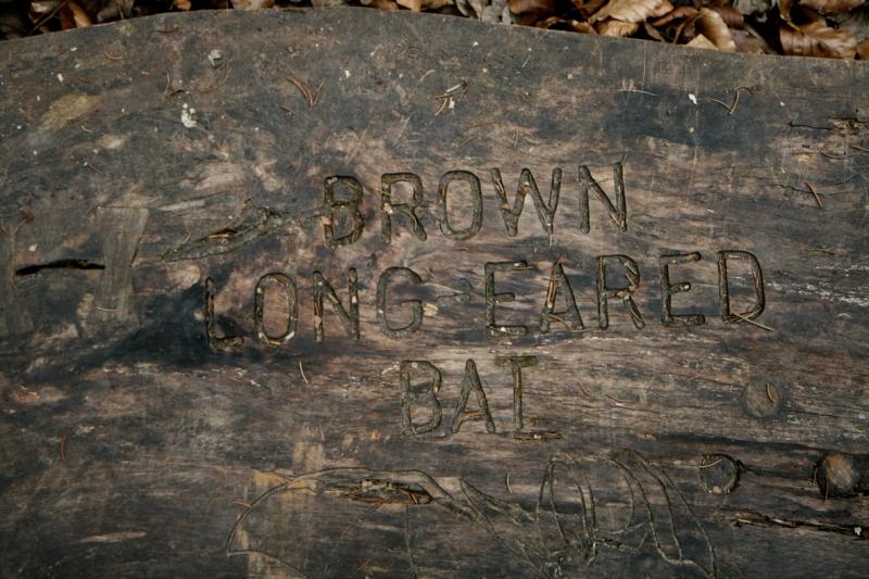 brownlongearedbat