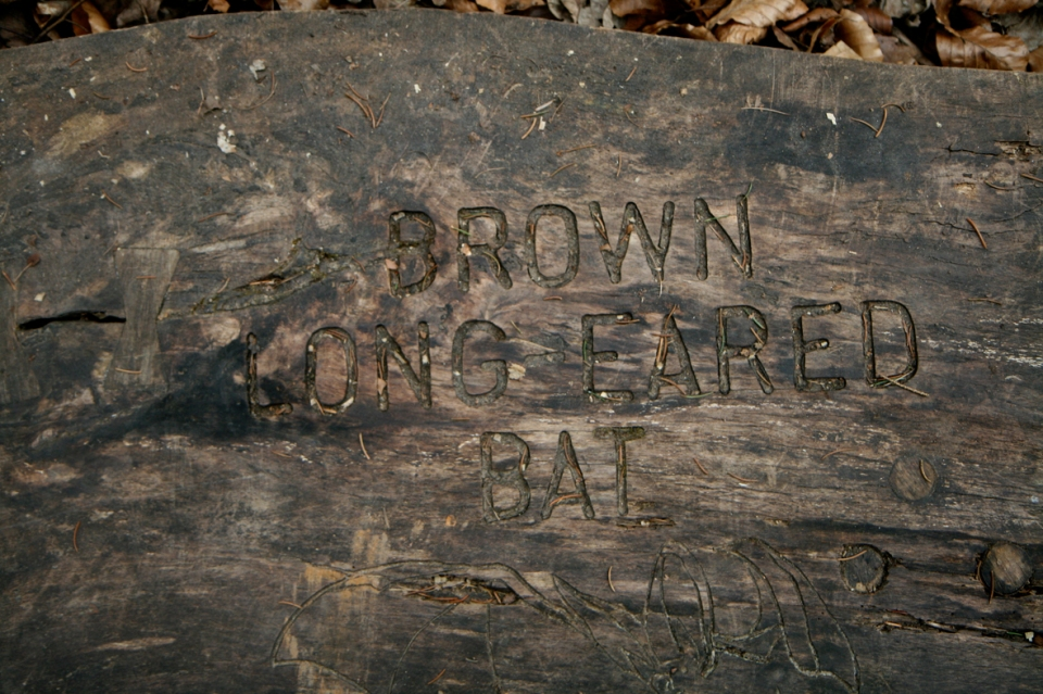 brownlongearedbat