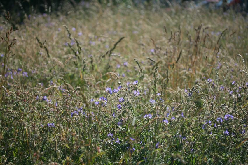 wildflowermeadow