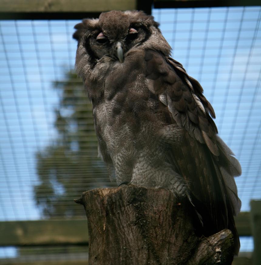 milkyeagleowl