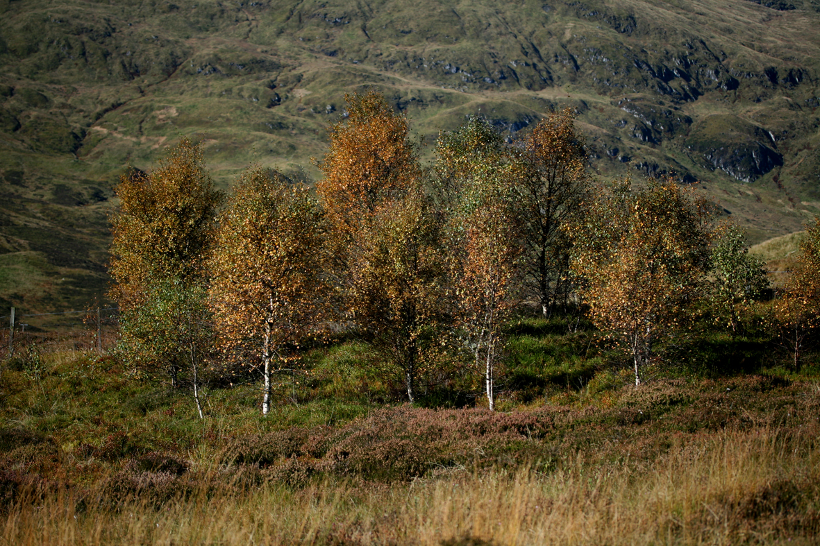 highlandbirches