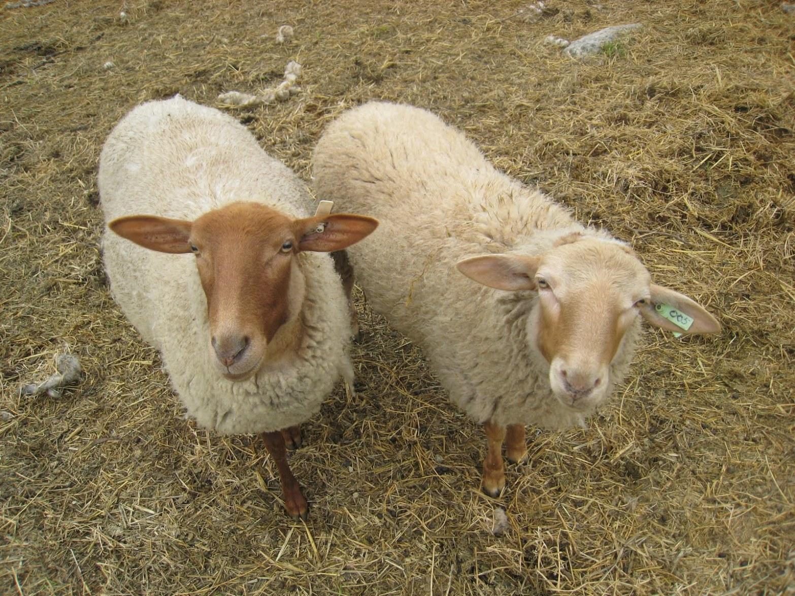 Sheep%2C+California+Red+2
