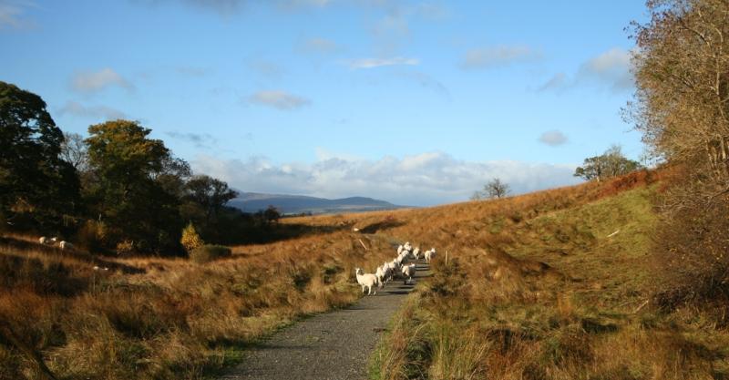 sheepbuddies