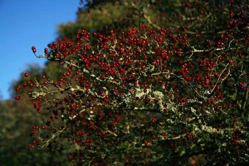 lichenandhawthorn