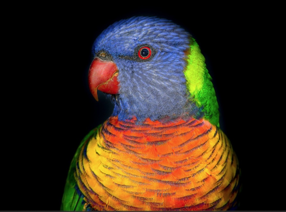rainbowlorikeet