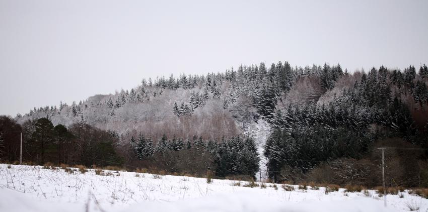 snowfirs