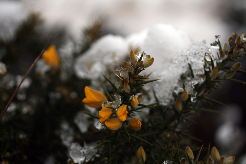 snowgorse