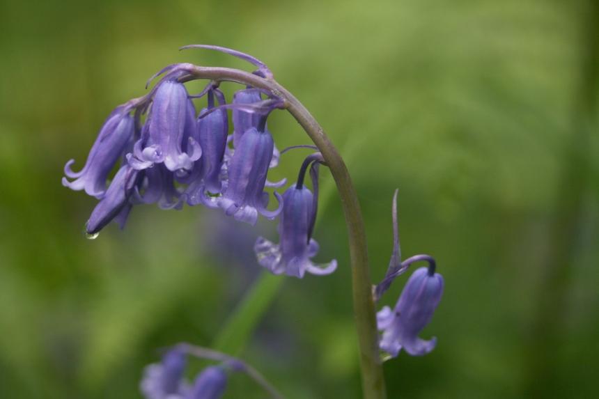 bluebell2