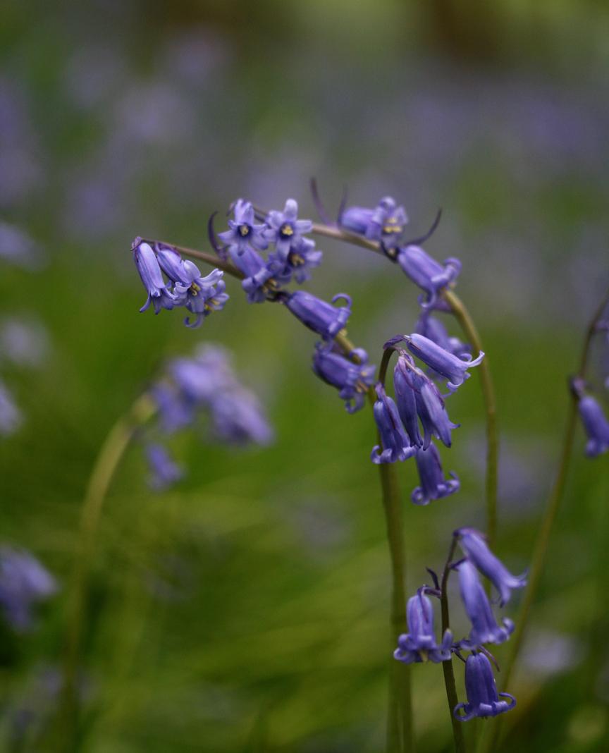 bluebell4