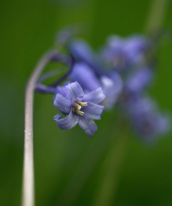 bluebell5