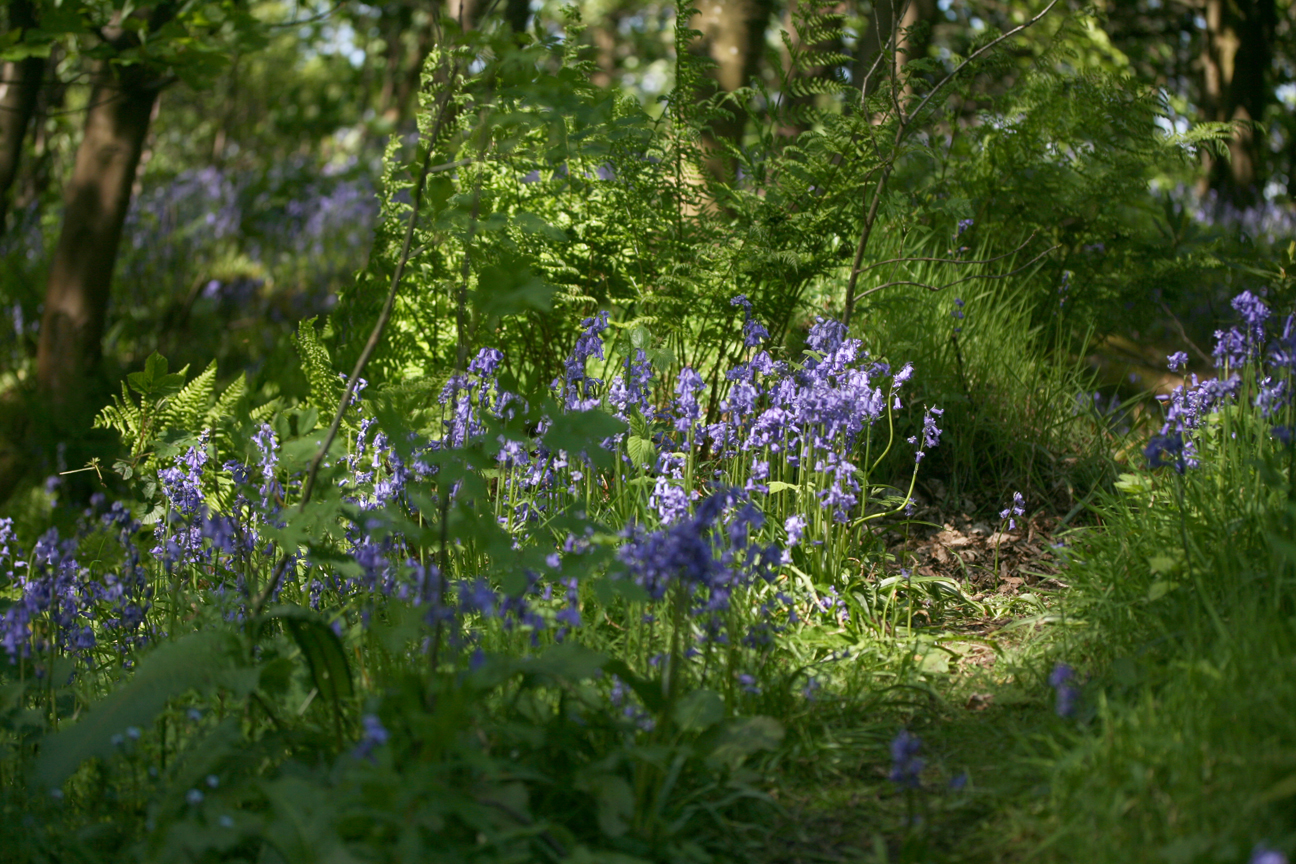 bluebellsilluminated