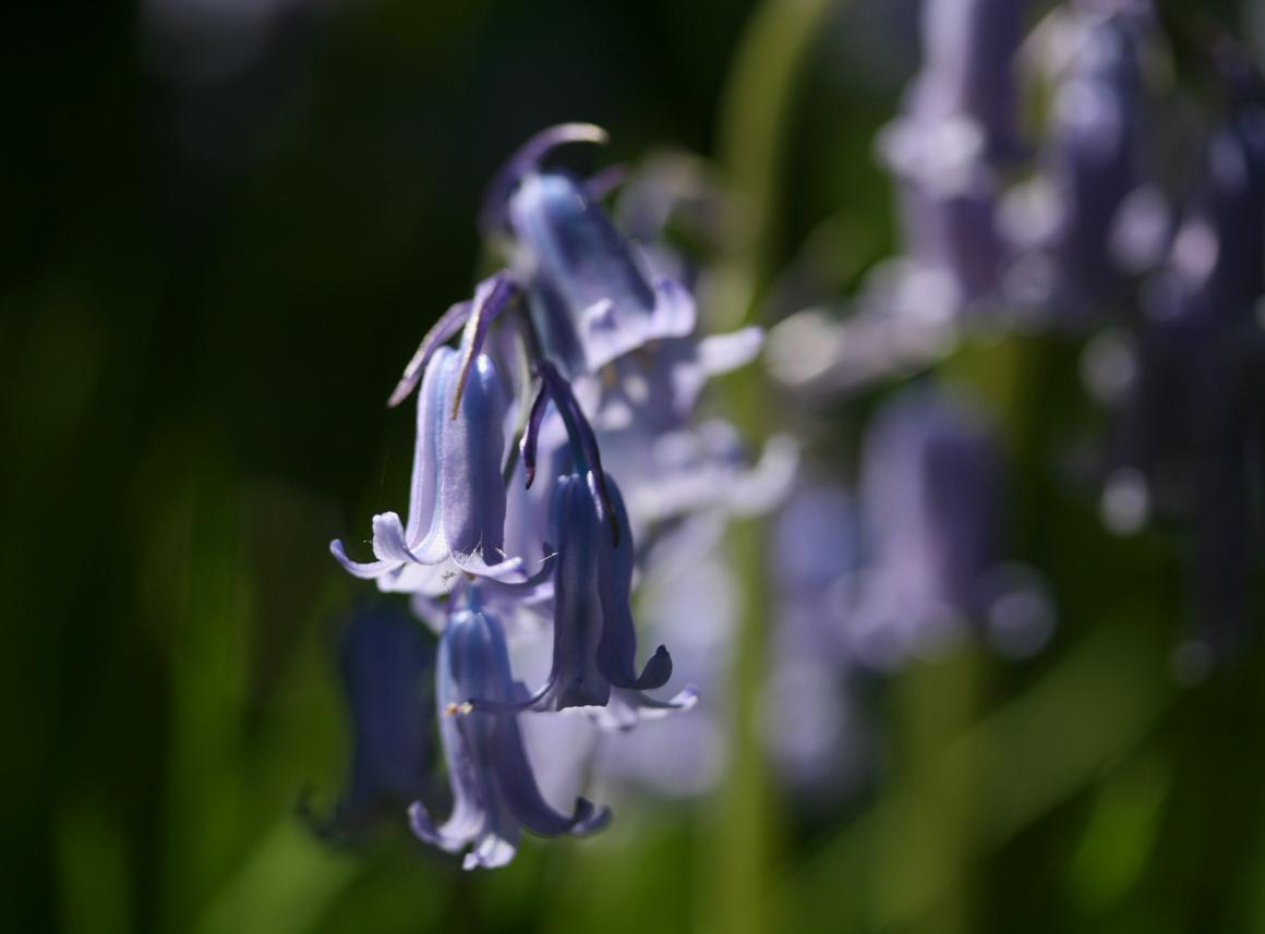 bluebellsstreaked