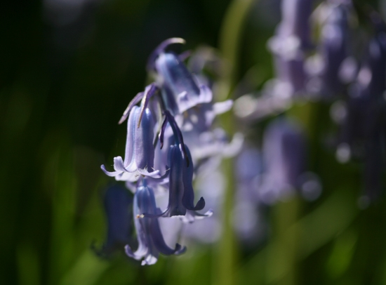 bluebellsstreaked