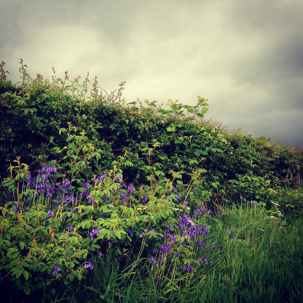 hedgerow