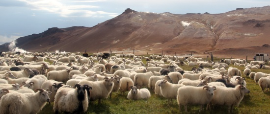 Icelandic_sheep