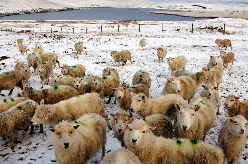 flock of sheep, for Buachaille yarn