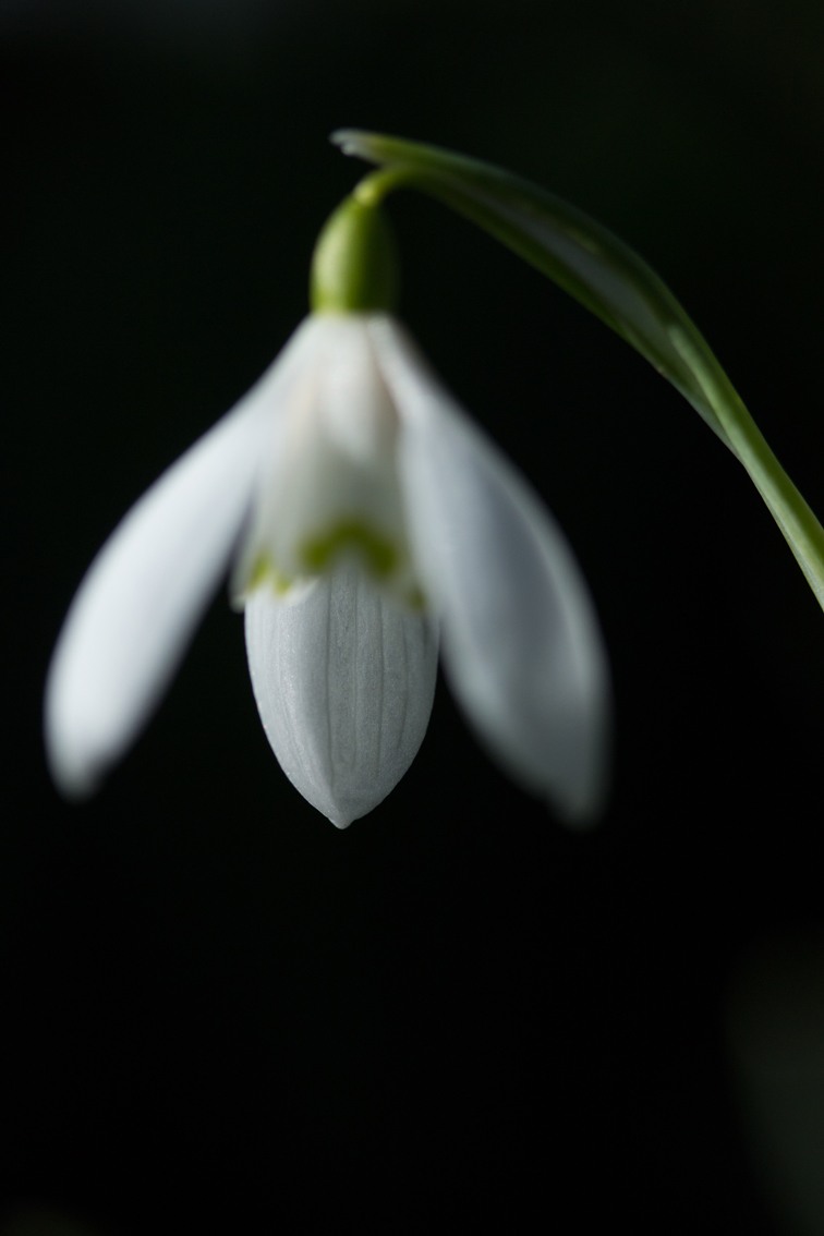 small_snowdrop1
