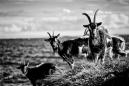 Islay goats