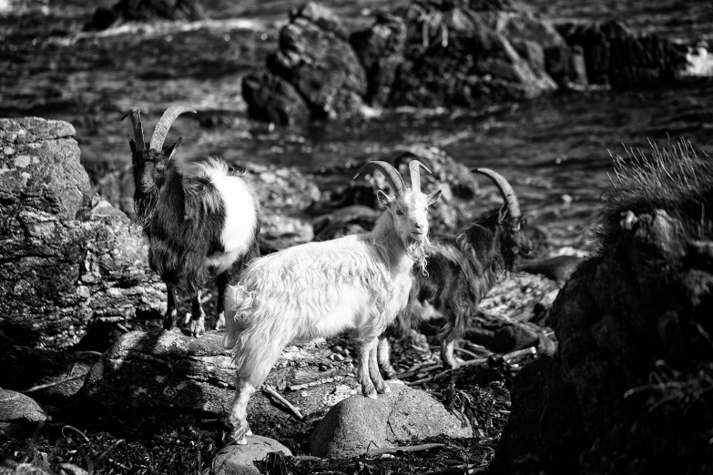 goatbeard3
