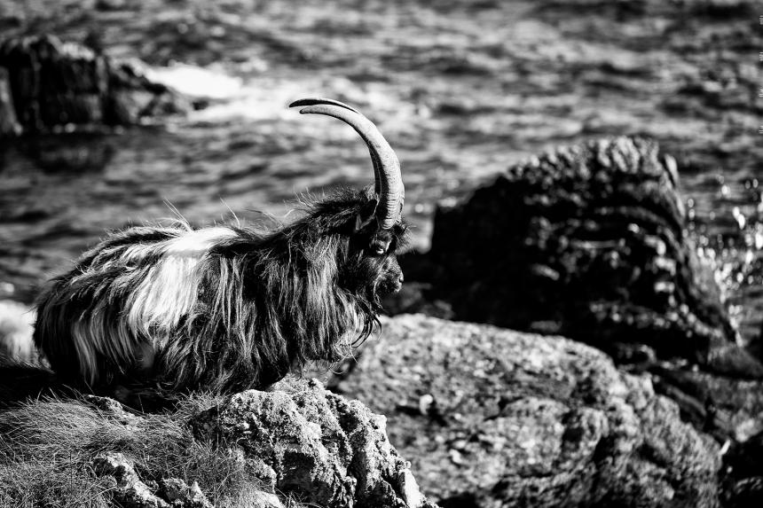 goatbeard4