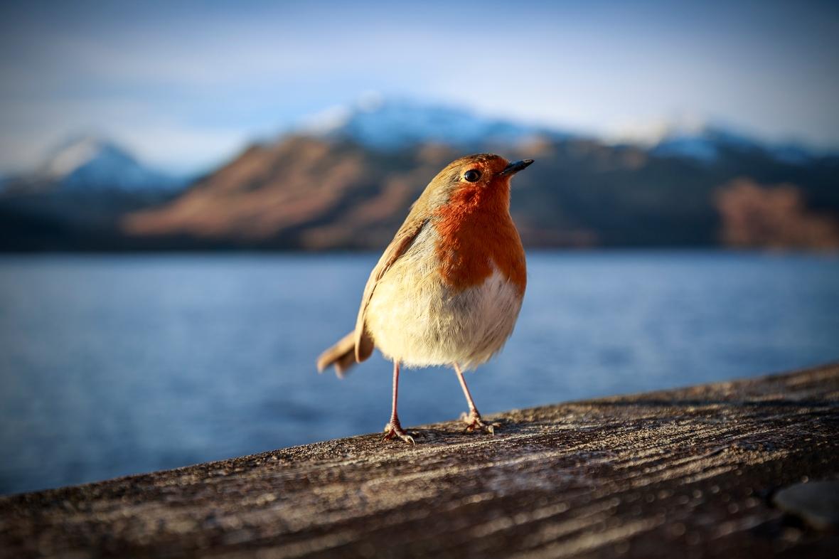 Robin at Inversnaid