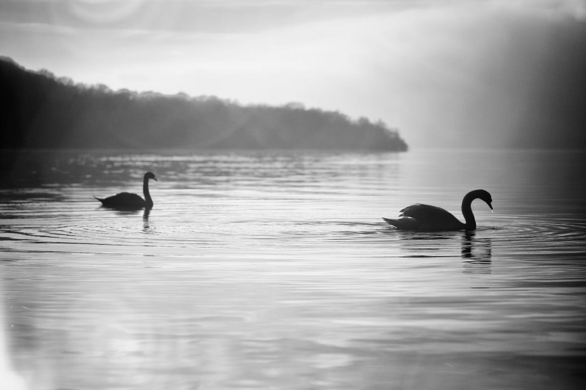 swans on loch lomond