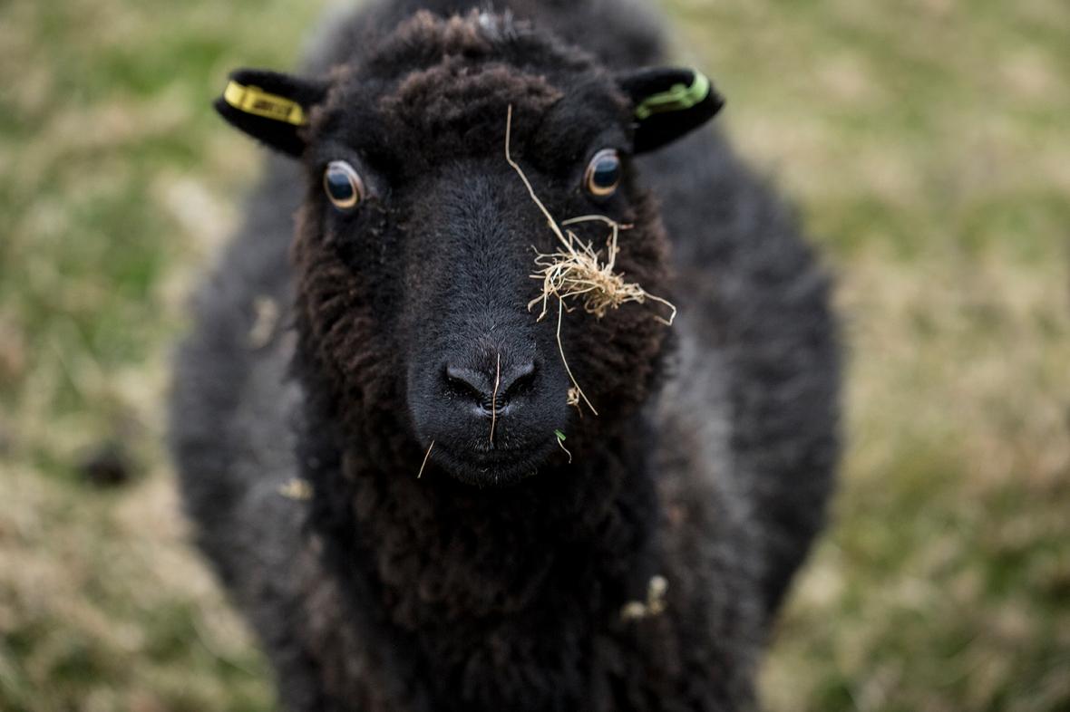 Sheep of the week