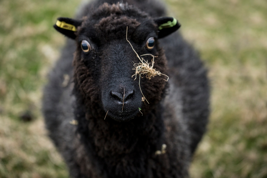 sheepoftheweek-copy
